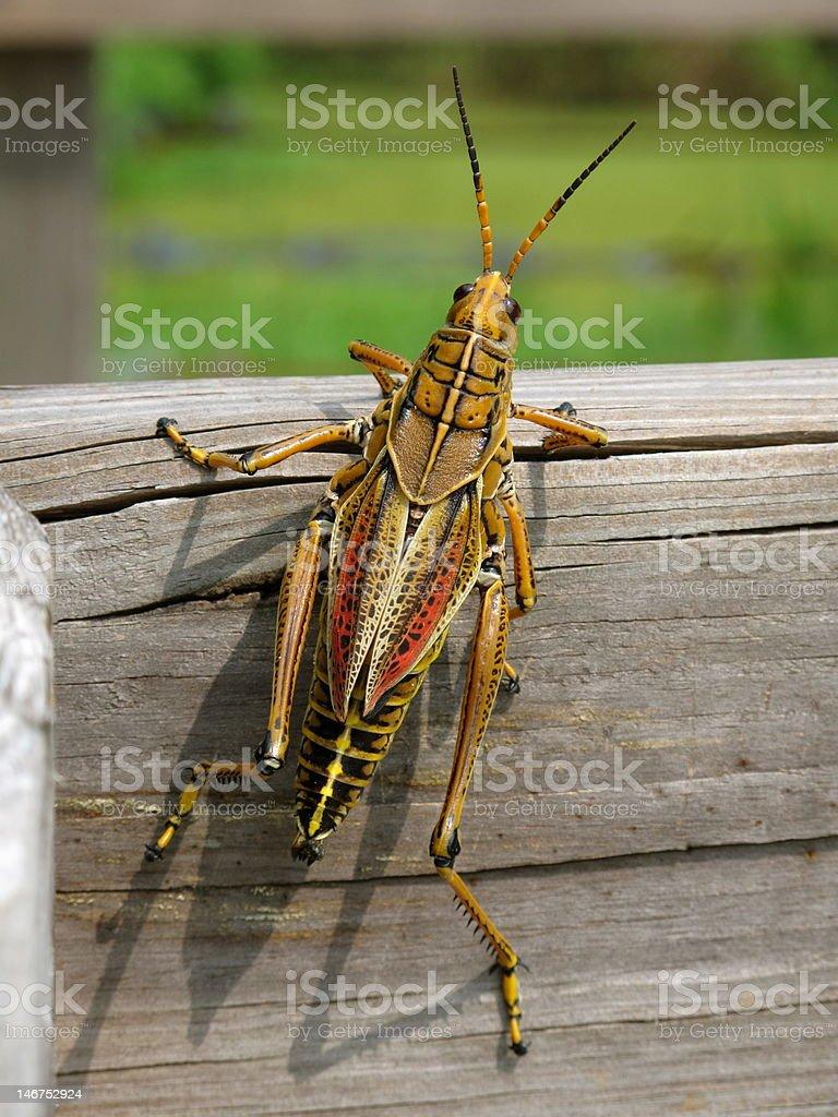 Grasshopper or Cricket royalty-free stock photo