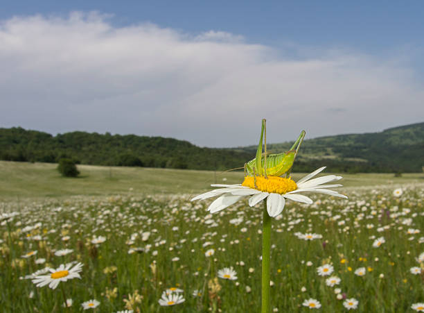 Heuschrecke auf ein Gebiet der Oxeye Gänseblümchen – Foto