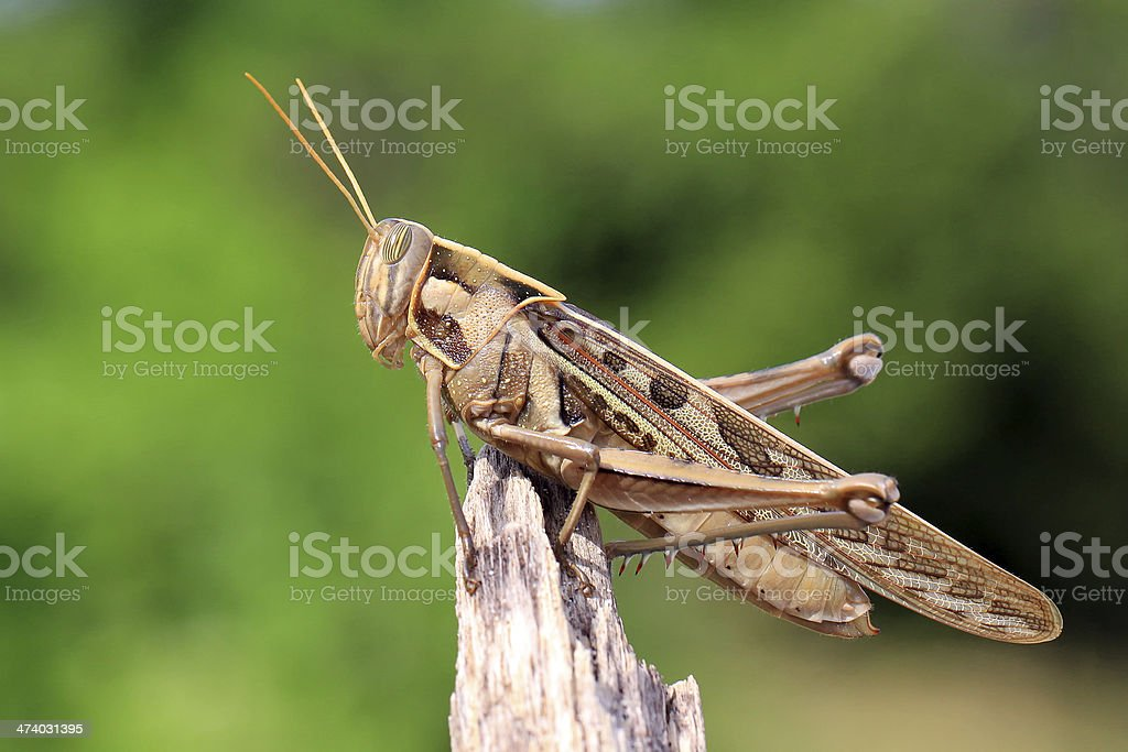 Grasshopper perching on natural background stock photo