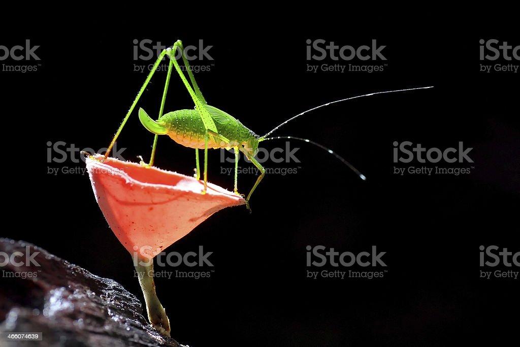 Grasshopper perching royalty-free stock photo