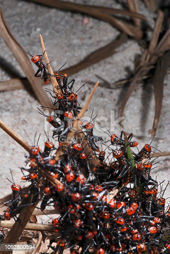 Grasshopper  photographed in Guarapari, Espirito Santo - Southeast of Brazil. Atlantic Forest Biome. Picture made in 2007.