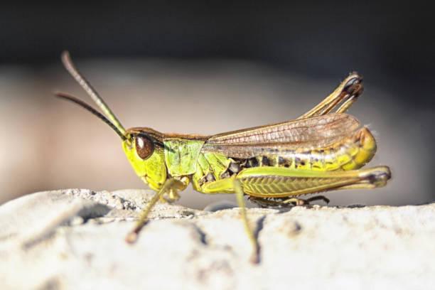 sprinkhaan - locust swarm stockfoto's en -beelden
