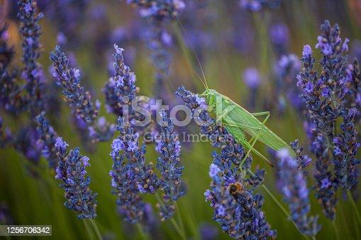 Green grasshopper on the lavender flowers. Provence, France