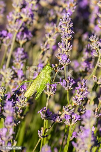 A grasshopper in a lavender field