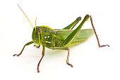 istock Grasshopper 155095890