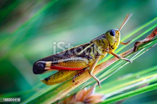 Grasshopper sitting on a blade