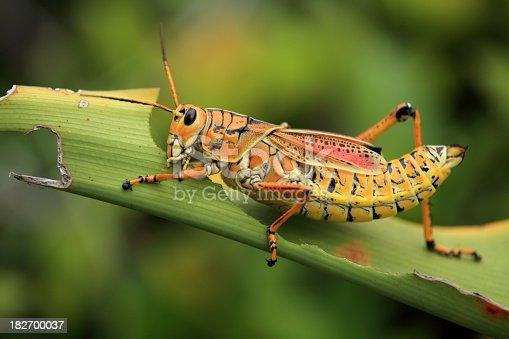 istock grasshopper 182700037