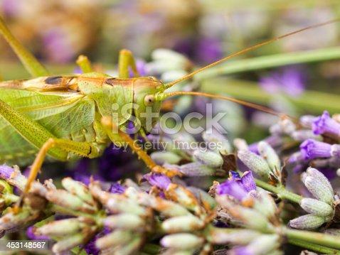 Grasshopper in blooming flower of  Lavender field, Karst, Slovenia.