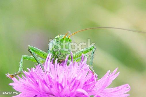 Grasshopper on a pink flower