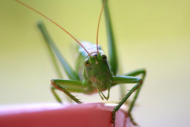 grasshopper - locust swarm stockfoto's en -beelden