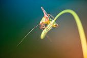 Grasshopper sitting on a grass blade