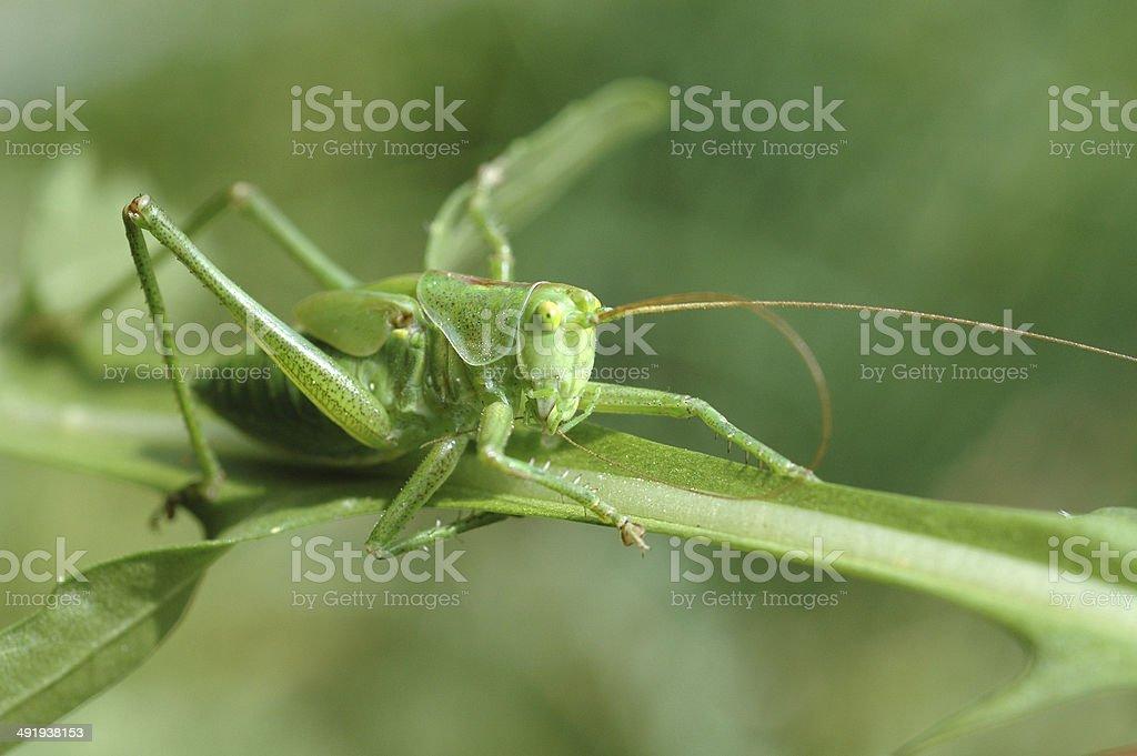 Grasshopper, royalty-free stock photo