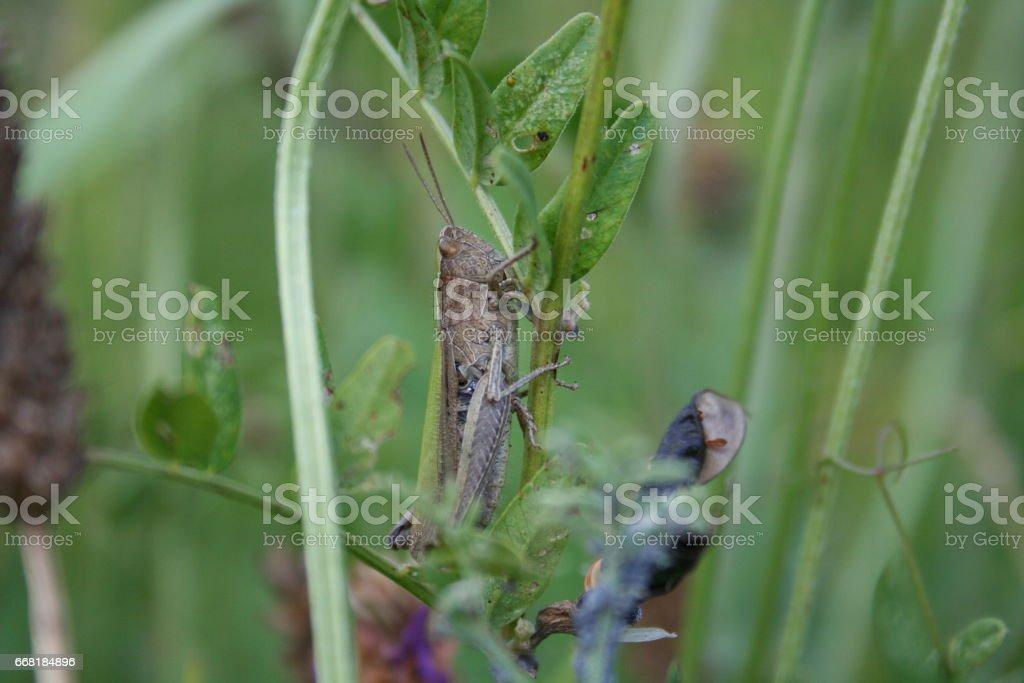 A Grasshopper stock photo