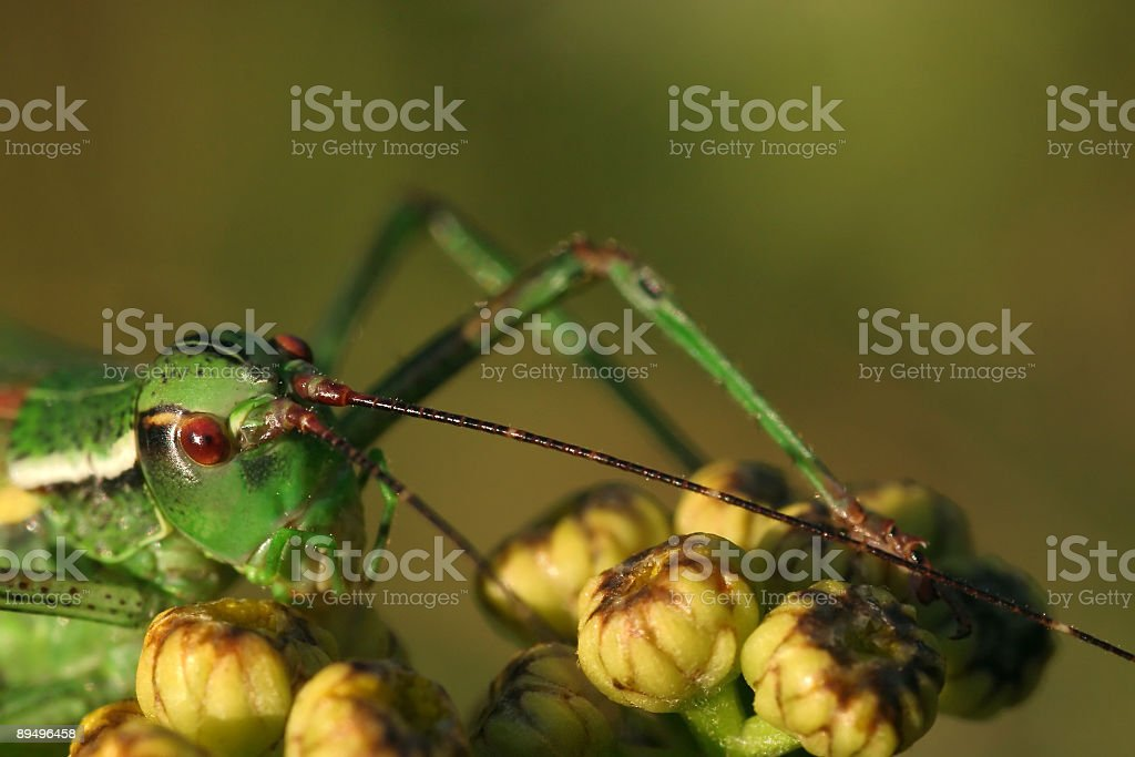 Grasshopper royalty free stockfoto