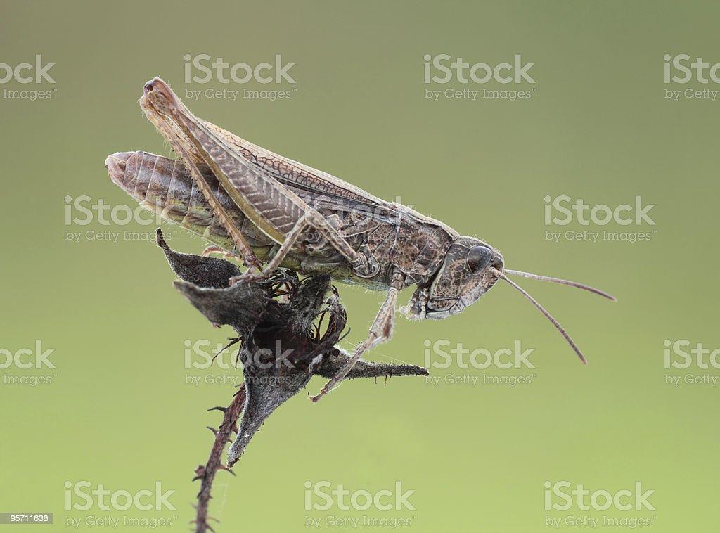 Grasshopper. royalty-free stock photo