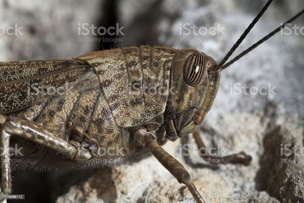 Grasshopper portrait stock photo