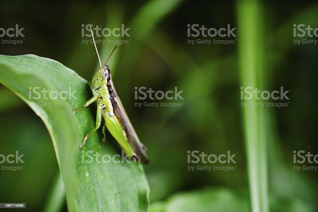 Grasshopper resting royalty-free stock photo