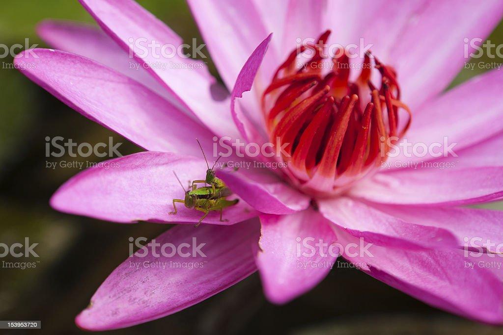 Grasshopper romance royalty-free stock photo