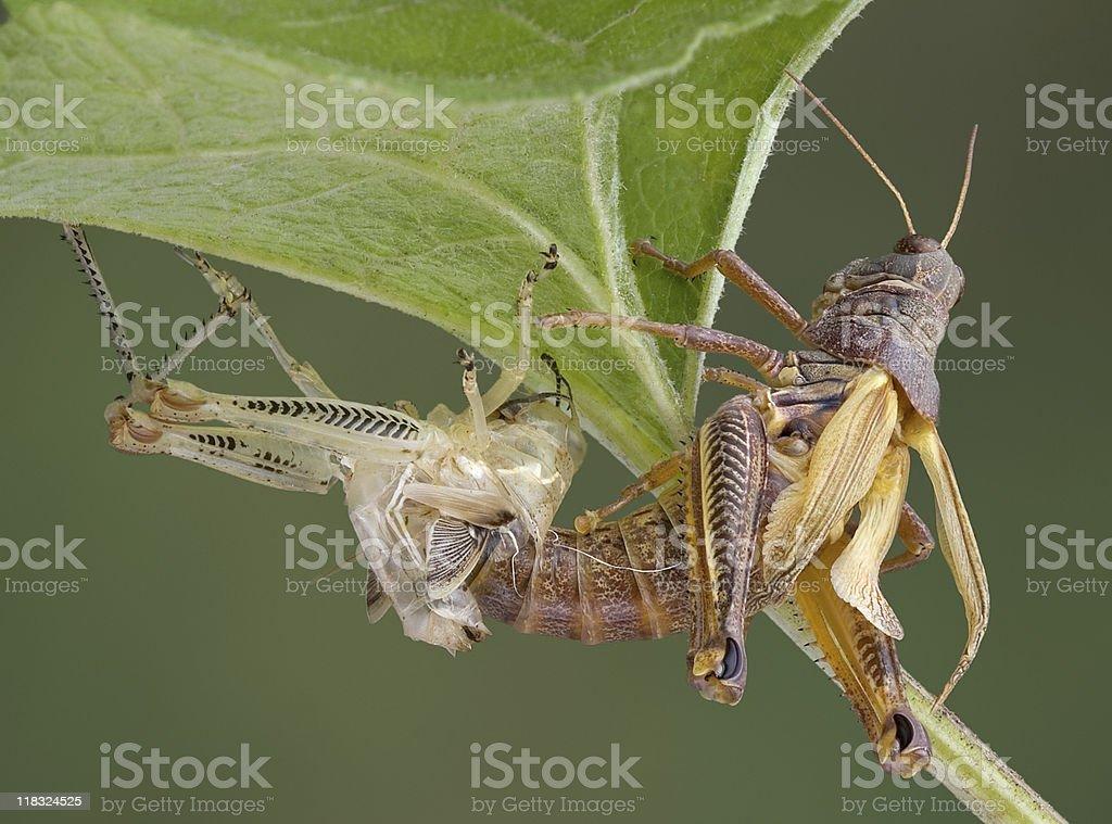Grasshopper shedding stock photo