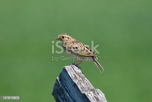 A close-up of a Grasshopper Sparrow (Ammodramus savannarum) standing on a fence post.  The muted green background brings out the beauty of the bird.