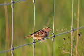 Spring Scene of Grass hopper sparrow perched on a wire agricultural fence