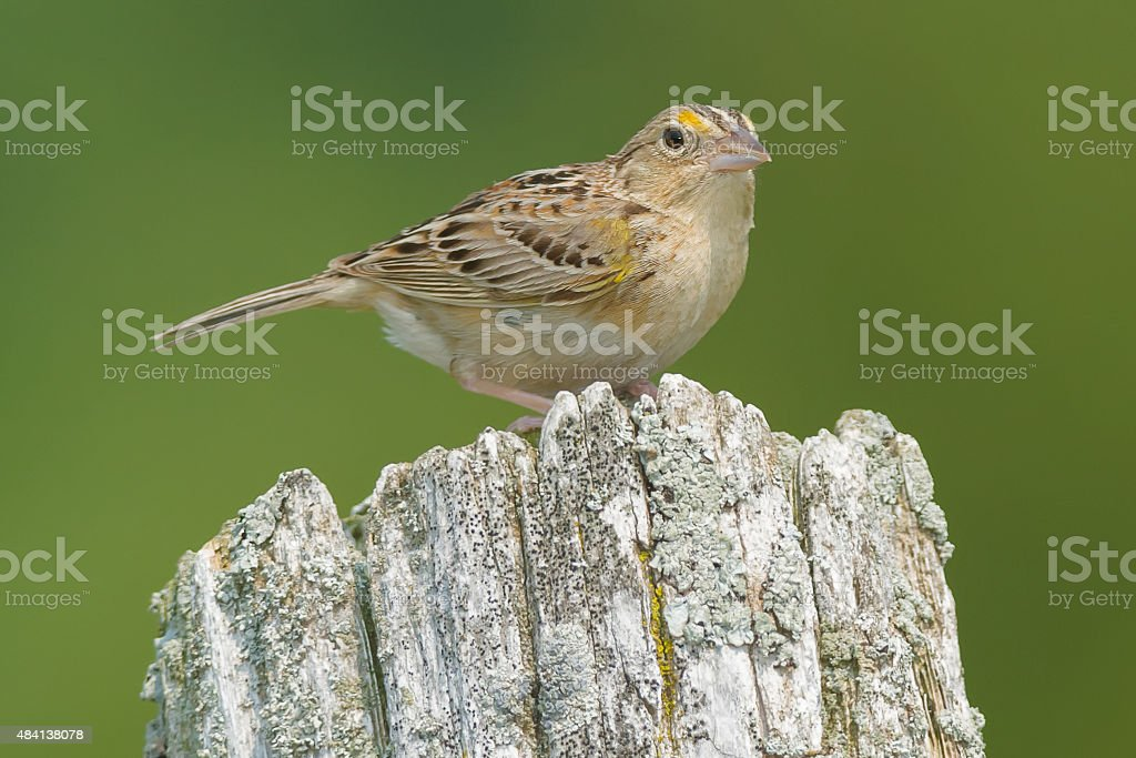 Grasshopper Sparrow royalty-free stock photo