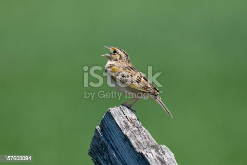 A closeup of a colorful Grasshopper Sparrow (Ammodramus savannarum) singing from a wooden fence post against a muted green background.  Plenty of copy space.