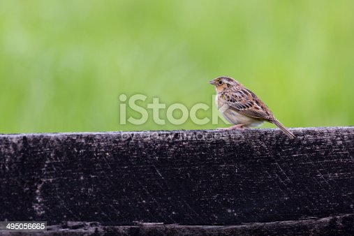 A close-up of a Grasshopper Sparrow (Ammodramus savannarum) standing on a fence.  The muted green background brings out the beauty of the bird.