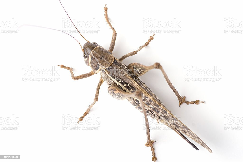 Grasshopper top view royalty-free stock photo