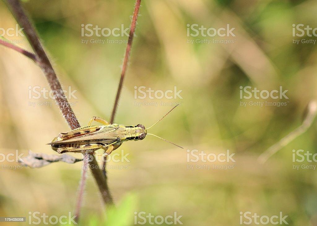 Grasshopper Top View royalty-free stock photo