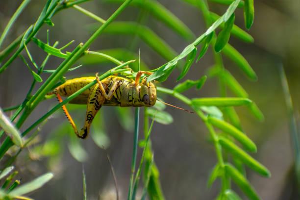 grasshopper upside down eating leaves stock photo