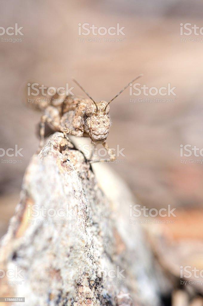 Grasshopper vertical portrait royalty-free stock photo