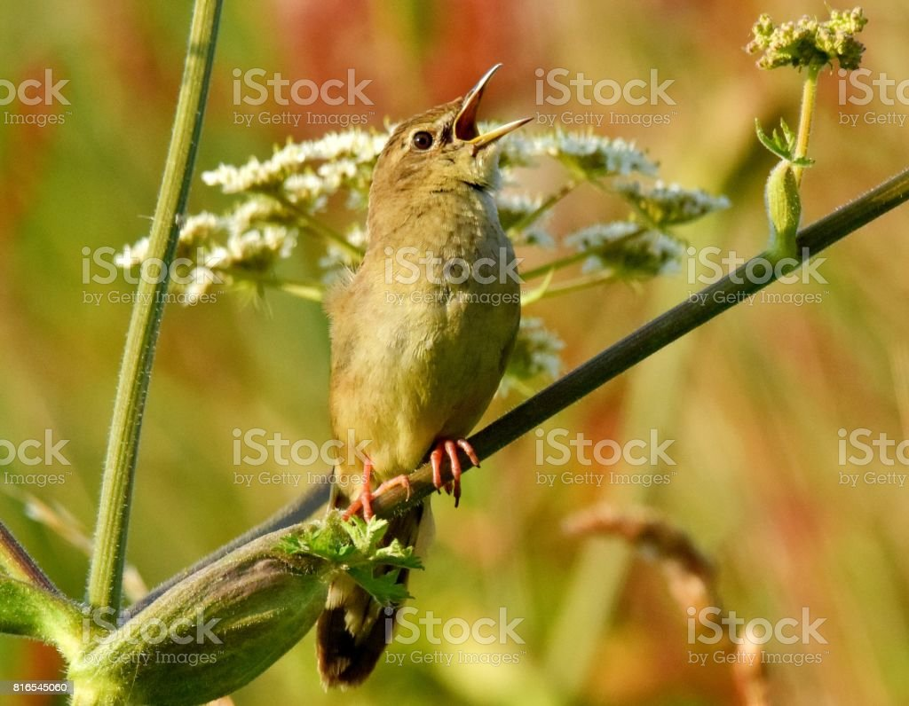 grasshopper warbler bird close up perched on reeds stock photo