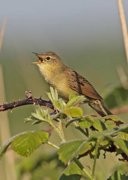 sprinkhaanzanger - zanger vogel stockfoto's en -beelden