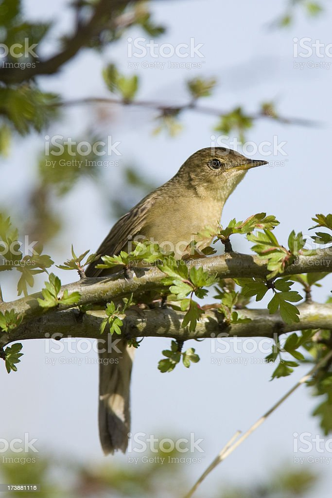 Grasshopper Warbler (Locustella naevia) royalty-free stock photo