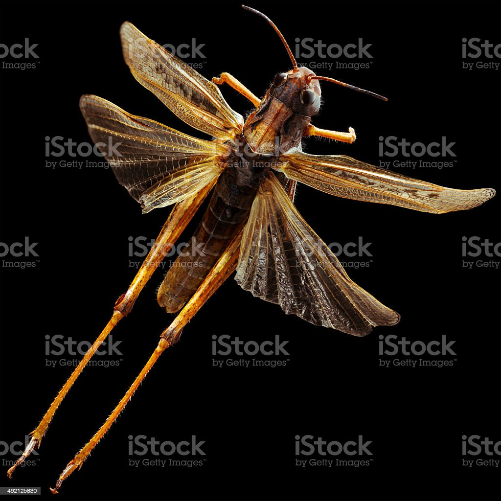 Grasshopper Wings stock photo