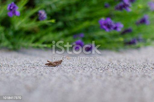 Grasshopper with lavender