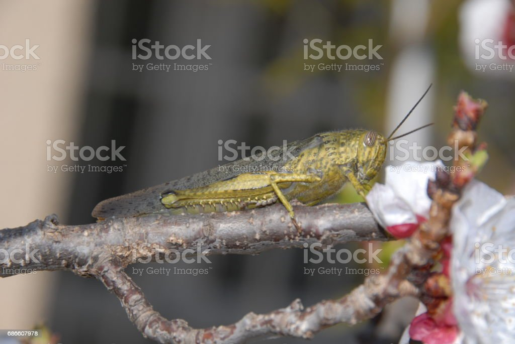 Grashüpfer/Heuschrecke auf einem Aprikosenbaum - Spanien royalty-free stock photo