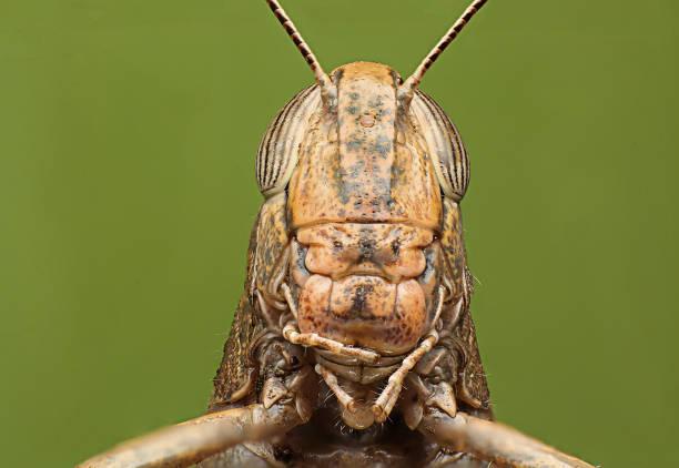 Grasshoppers green background detailed super macro shooting picture id867668730?b=1&k=6&m=867668730&s=612x612&w=0&h=r1zqak nr25160m6k0nyky svb8wgsdx2vqimvekawc=