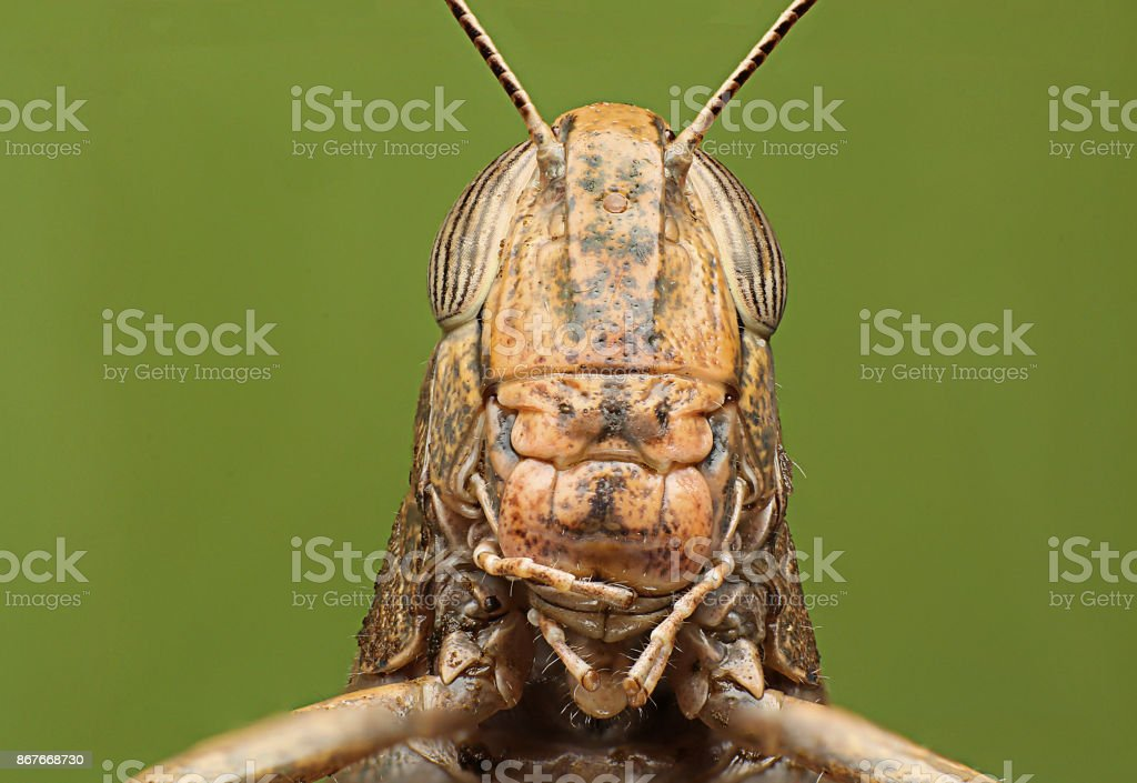 Grasshoppers. green background. detailed super macro shooting. stock photo