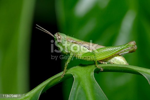 Grasshoppers on green leaves Making it look harmonious with nature and the living environment