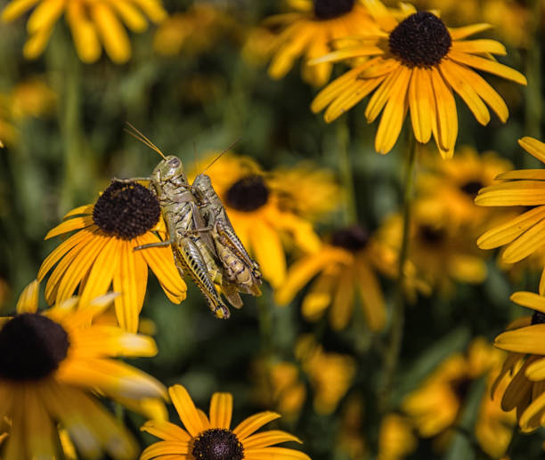 Grasshoppers on Yellow Flowers stock photo