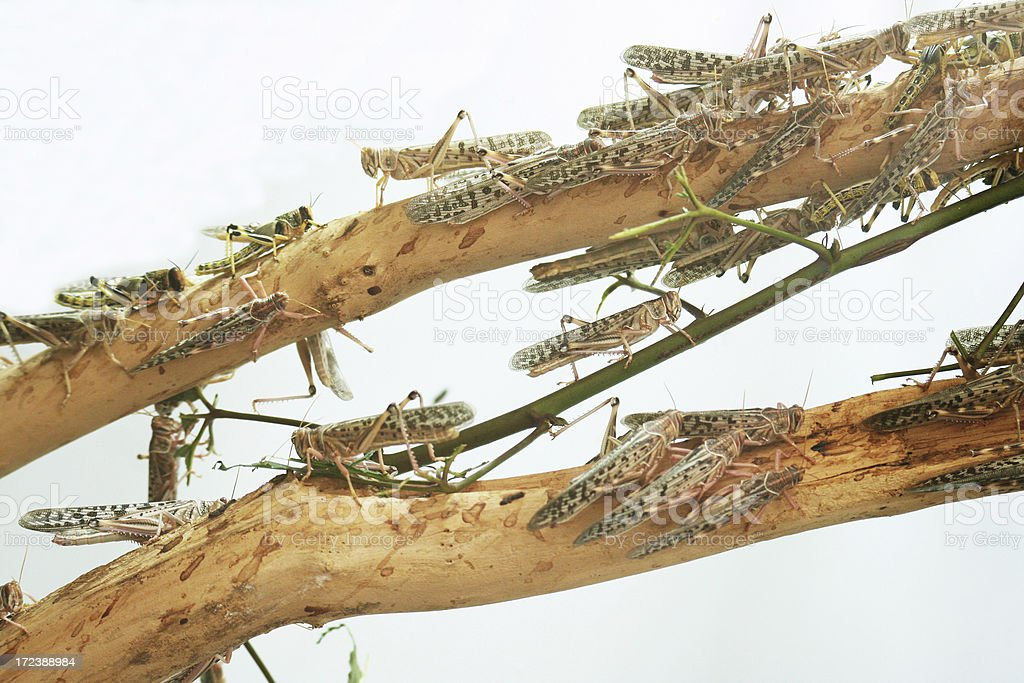 Grasshoppers royalty-free stock photo