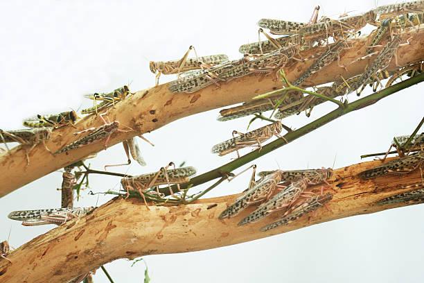 grasshoppers - locust swarm stockfoto's en -beelden