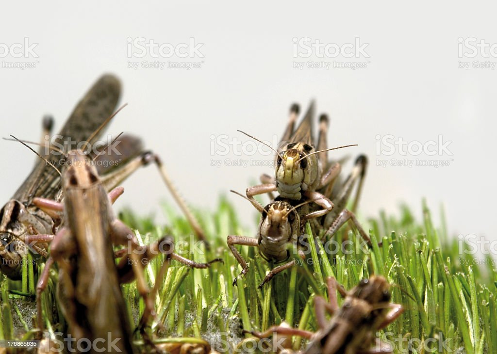 grasshoppers stock photo