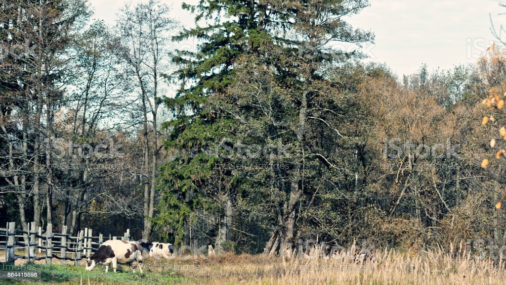 Grassing cows stock photo