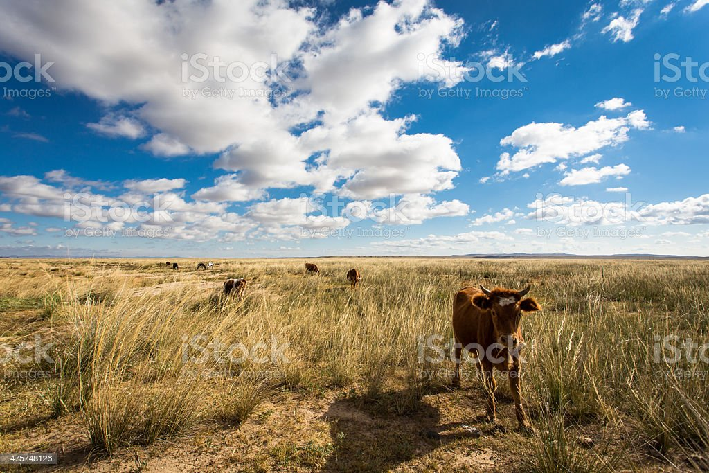 Grassland and cattle stock photo