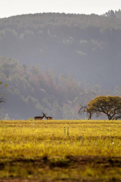 grasland van swaziland met twee blesboks, mlilwane wildlife sanctuary - blesbok stockfoto's en -beelden
