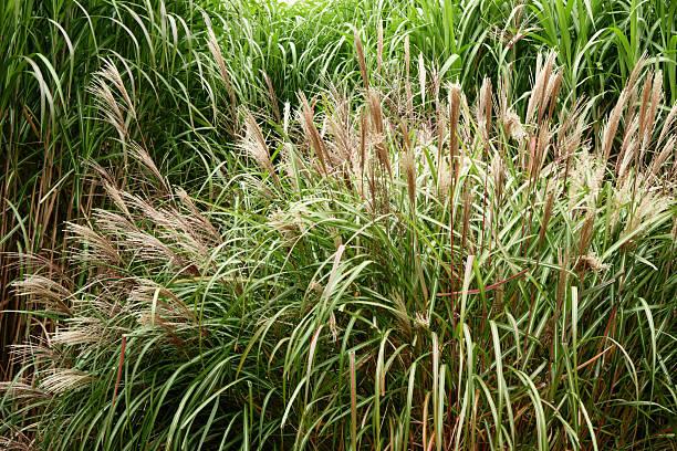 grassland - chinaschilf stock-fotos und bilder