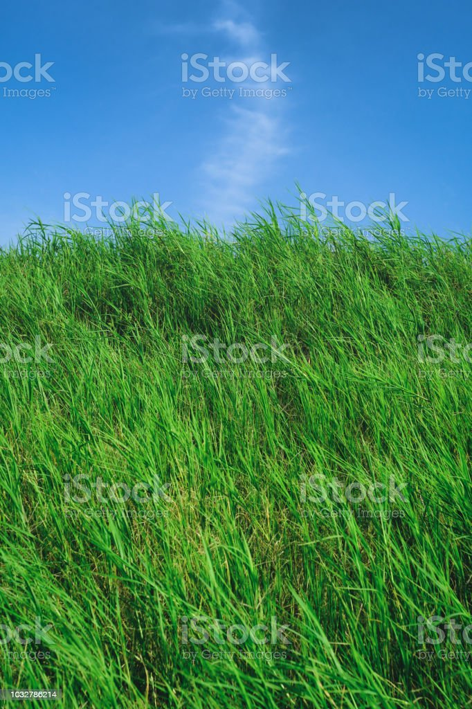 Grassland with Blue Sky in Summer Season, Background Material. stock photo